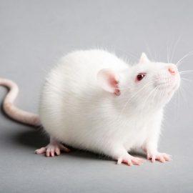 Medium Rats