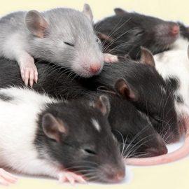 Hopper Rats