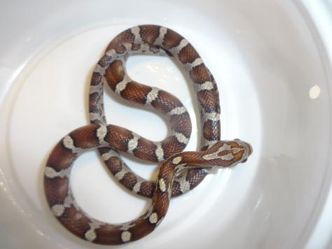 Miami Phase Motley Corn Snake 3