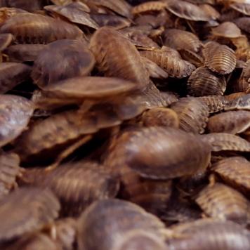 Medium Dubia Roaches
