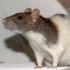 Adult Rat
