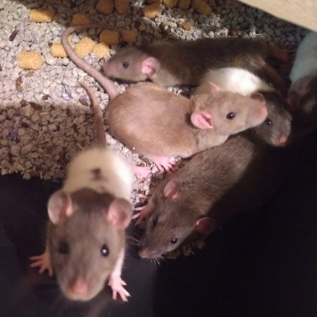 Small Juvinile Pet Rats or Feeder Rats